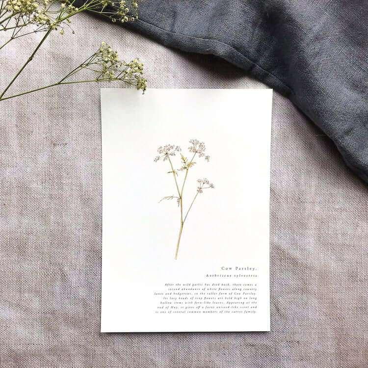 cow parsley print